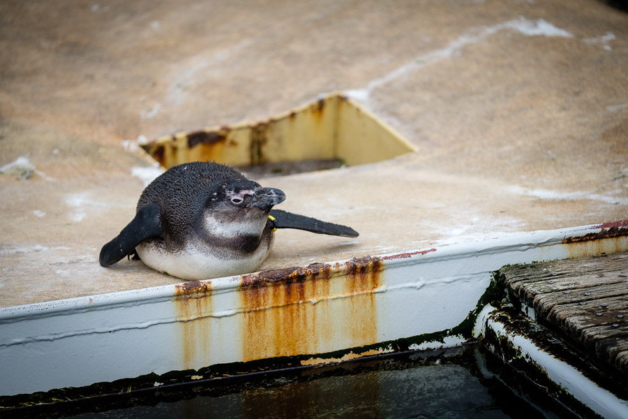 Pinguine im Zoo Hannover